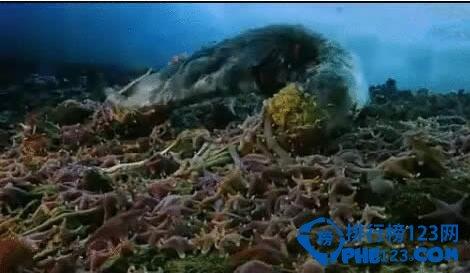 世界上最大的蟲子是什麼 南極巨蟲吃掉海豹