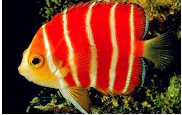 十大名貴觀賞魚排行榜,盤點世界上最貴最漂亮的觀賞魚