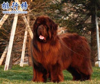 世界十大猛犬,藏獒僅第六,第一不知疼痛!