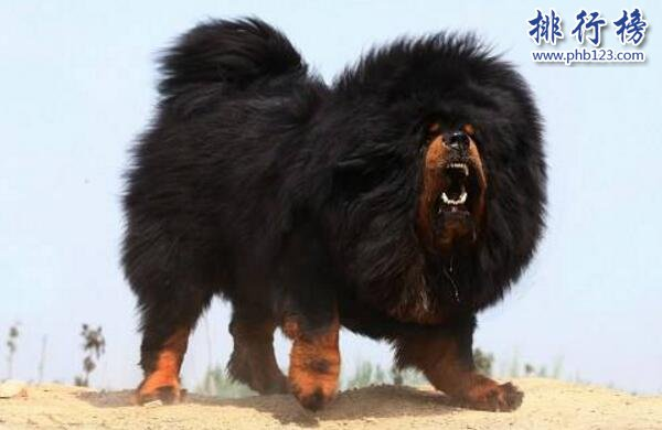 世界上最貴的藏獒:純紅藏獒可換北京一環一套房(售價1000萬)