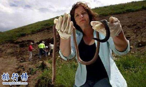 世界上最大的蚯蚓,南美洲巨型蚯蚓比蟒蛇更大更粗