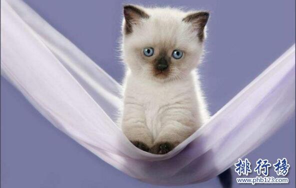 世界上最小的貓:新加坡貓,體重不超過2公斤