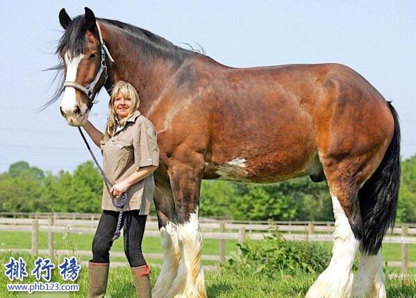 世界十大重型馬排名,夏爾馬身高2米體重1.8噸