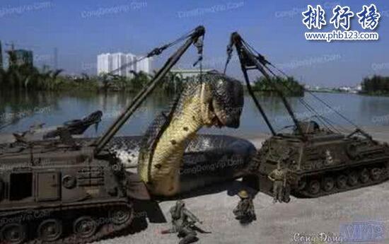 世界上最大的蛇是什麼蛇,印尼巨蟒重達894斤(一口整吞活人)