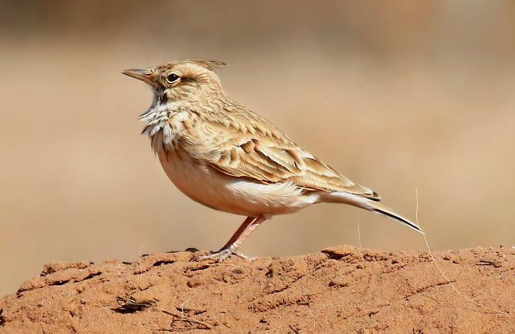 導語:現在很多人喜歡養一些外形美麗而且聲音比較優美動聽的鳥類。在大自然中有很多鳥的聲音是非常動聽響亮的,想知道是那些鳥嗎?下面TOP10排行榜網為大家盤點了觀賞鳥十大鳴鳥排名,一起來看看吧。  觀賞鳥十大鳴鳥排名  一、百靈  百靈鳥是一種歌聲比較動聽的鳥,產於內蒙古地區和河北的北部。能夠模仿各種鳥的叫聲,而且聲音婉轉悠揚能夠邊唱歌邊跳舞是人們喜愛的籠養鳥之一。  二、畫眉  畫眉全身大部棕褐色,一般生活在竹林中。非常的聰明不能夠遠距離的飛翔,聲音洪亮歌聲悠揚非常好聽,是一種非常有名的籠養鳥。主要是吃昆蟲和食草籽為食,分布在中國東南沿海地區。  三、繡眼  繡眼是一種體形比較小的鳥類,嘴巴小小的。鮮明的白眼圈顯得比較特別所以被稱為繡眼。生活在樹林裡面主要吃昆蟲和果實為食物,是一種比較活潑的鳥大部分都是群聚在一起。  四、靛頦  靛頦是一種比較流行的高雅類的觀賞鳥。生活在東北和青海以及四川等地區。常在平原繁茂叢中主要是以昆蟲和野果為食物。雄鳥羽色美麗鳴聲比較婉轉動聽,能夠模仿蟋蟀和金鈴子等和金鐘兒等蟲的聲音。  五、金絲雀  金絲雀是一種比較受歡迎的鳥類,這種腦袋額外形漂亮羽色和鳴叫兼優的籠養鳥。是也國內高貴的籠養觀賞鳥之一。後來經過人工飼養出現了黃色和綠色以及花色等多種顏色的鳥,有不同的品系。  六、柳鶯鳥  柳鶯鳥是一種聲音比較響亮而且比較活躍的一種鳥類。行動機智敏捷喜歡群聚在一起尋覓食物。這種鳥的聲音非常的動聽,是一種比較常見的小型食蟲鳥類。  七、雲雀  雲雀是一種比較小的鳥,主要是以昆蟲和植物種子為食,上體大都砂棕色這種鳥繁殖期雄鳥的聲音洪亮動聽。是觀賞鳥十大鳴鳥排名中能夠在飛行中歌唱的鳥類。  八、 虎皮鸚鵡  虎皮鸚鵡是一種小型攀禽品種,一般生活在樹林和草地等地方。鳥體為黃綠色分布於澳大利亞內陸地區。人工培育的虎皮鸚鵡品種繁多,有不同的顏色和類型的。  九、烏鴉  烏鴉是大家比較熟悉的一種鳥,羽毛大部分是黑色的或者黑白色的,品種很多一般生活在森林和草原中。集群性強主要是吃蝗蟲和金龜甲等小蟲子等為食物,但是性格比較兇悍。  十、黃鸝鳥  黃鸝鳥是觀賞鳥十大鳴鳥排名中一種聲音比較好聽的鳥類,黃色的羽毛,聲清脆富有音韻非常的動聽。主要以昆蟲為食物,是大自然的歌唱家聲音清脆動聽十分的動聽。
