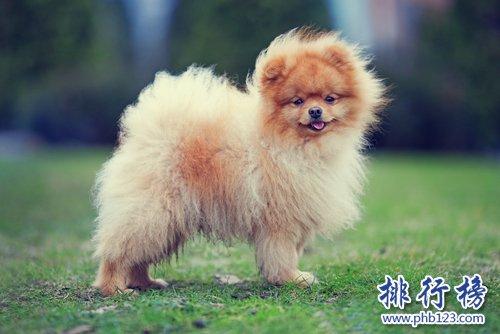 世界上最小的十大狗品種:約克犬可放口袋 吉娃娃最小