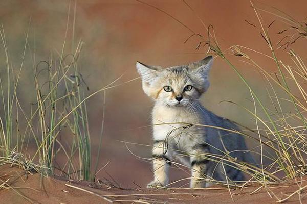世界十大禁養貓科動物