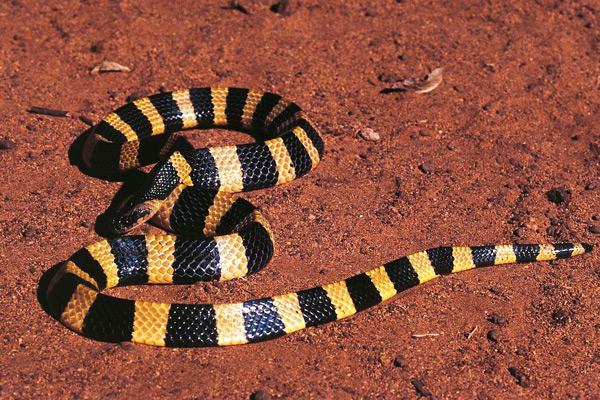 中國十大毒蛇 金環蛇