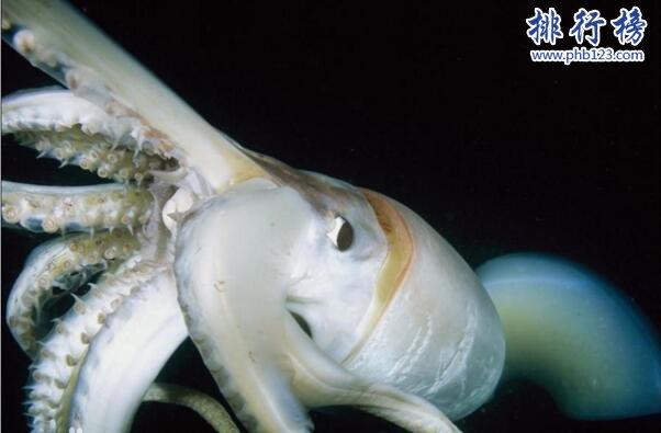 大王酸漿魷是什麼生物?世界上最大的烏賊(體重可達300公斤)