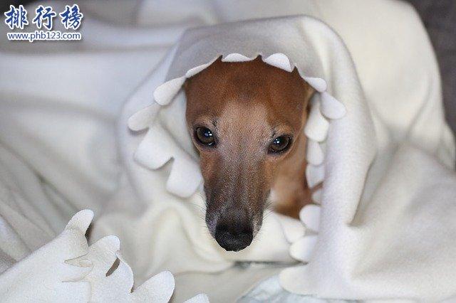 最怕冷的十種狗排名:你家的狗在嗎?趕緊加衣服