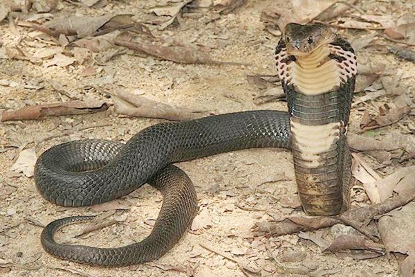 中國十大毒蛇 眼鏡王蛇