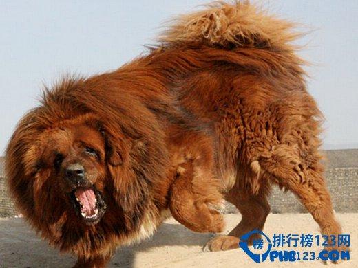 世界上最凶的藏獒王:青狼獒