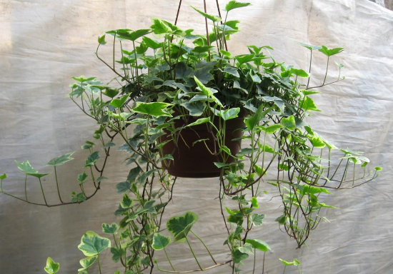 除甲醛十大植物排名,甲醛及有害氣體的清道夫,你選的是這些嗎?