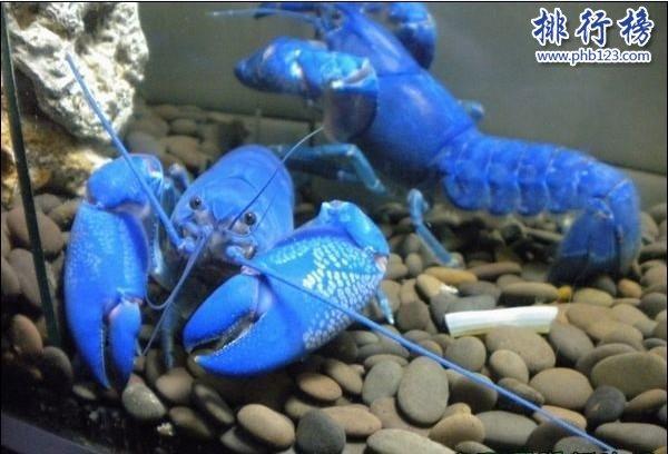 世界上最大的藍魔蝦:長30CM重500克,相當於3隻小龍蝦(圖片)