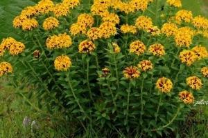 野外十大常見有毒植物,第1斷腸草吃了可斷腸