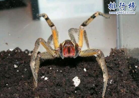世界上最毒的蜘蛛:巴西遊走蛛,毒素可導致男性永久陽萎