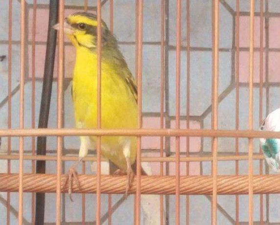 十大最叫聲最好聽的鳥,金青鳥天生的歌唱家