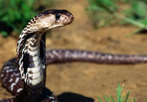 廣東十大毒蛇排名,竹葉青是最致命的毒蛇(最美的最致命)