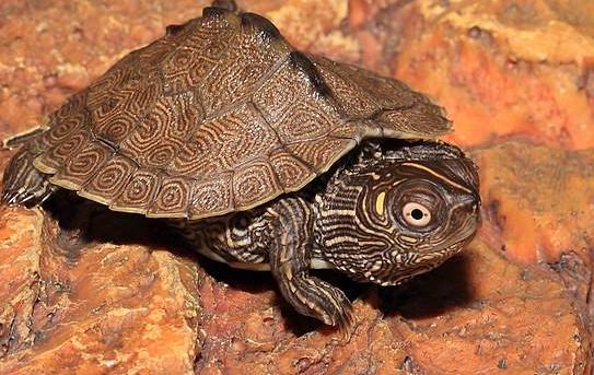 新手養什麼龜比較好?十大最值得養的烏龜