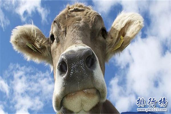 世界上最小的牛:體長僅有84厘米,已加入金氏世界紀錄