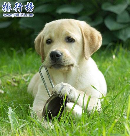 世界十大可愛溫順狗狗排名,聰明溫順適合家養的狗有哪些?