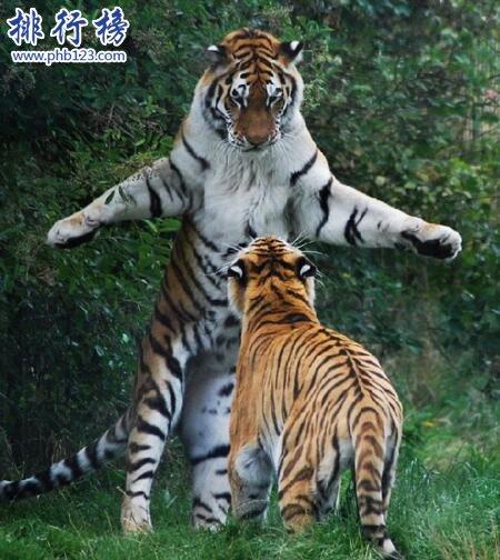 世界上最大的老虎:東北虎 體重350千克可秒殺非洲獅