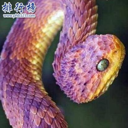 世界上最奇異的蛇:香蛇,能發出香氣,防蚊