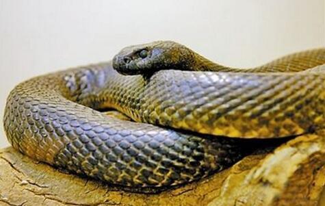 澳大利亞十大致命毒蛇排行榜 棕蛇致死數最多,第六又稱死亡蛇