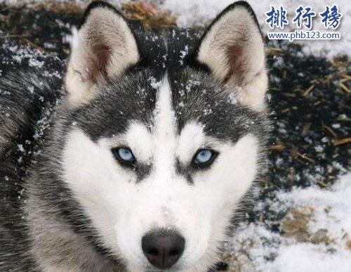 盤點全球最耐寒的十種狗狗,第一來自中國!