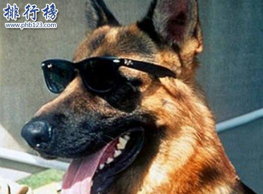 世界上最有錢的寵物:牧羊犬岡瑟四世(身家25億人民幣)