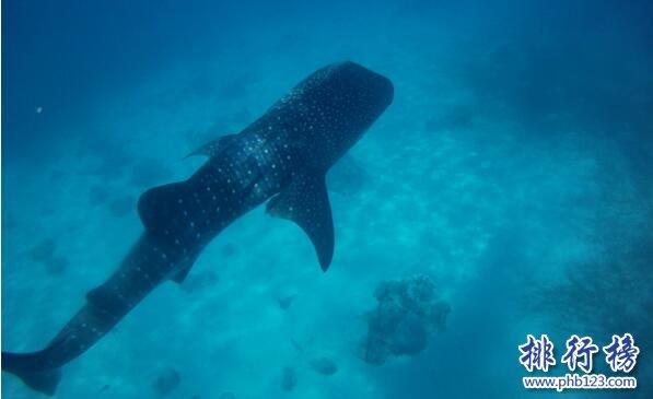 世界上最大的鯊魚,鯨鯊體長可達20米體重25噸(掀翻無數遊艇)