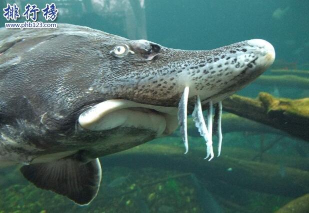 世界十大最兇猛淡水魚,亞馬遜鮎魚能扯斷承重400斤的魚線