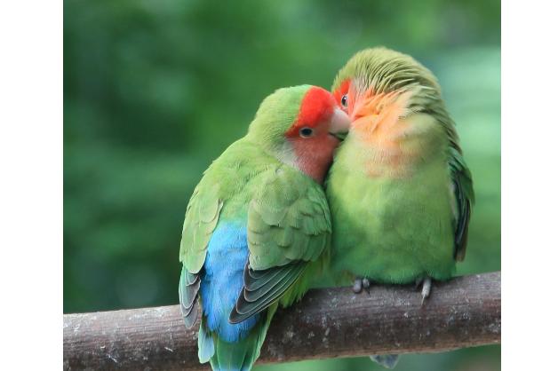 最貴的10種觀賞鳥,第一價值100萬是土豪們養的寵物鳥