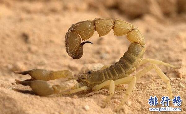 世界上最毒的蠍子:巴勒斯坦毒蠍,中東殺人狂魔(蟄一下致命)