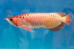 全球十大名貴觀賞魚排行榜 美得令人驚嘆