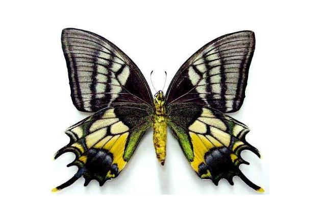 全球十大珍稀昆蟲排行榜 第二名已經滅絕,第九名為蝴蝶
