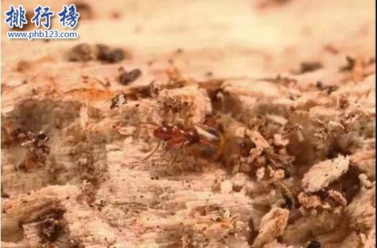 全球昆蟲新物種:雙斑粗角步甲一員 可噴60℃高溫化學物質