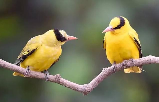 十大籠養鳥,大家最愛養的寵物鳥在這