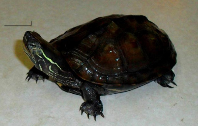 什麼烏龜最名貴?盤點中國十大名貴烏龜