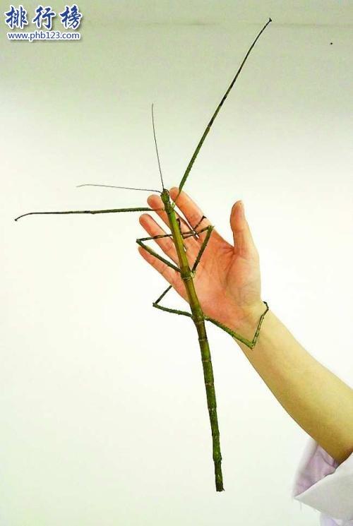 """世界最大昆蟲產卵:吉尼斯紀錄""""最大昆蟲""""竹節蟲產卵"""
