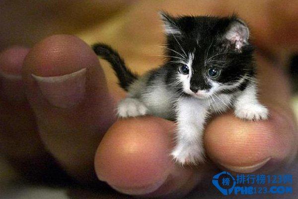 世界上最小的貓