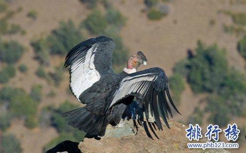 世界上最大的猛禽,安第斯神鷲(安第斯文明之魂)