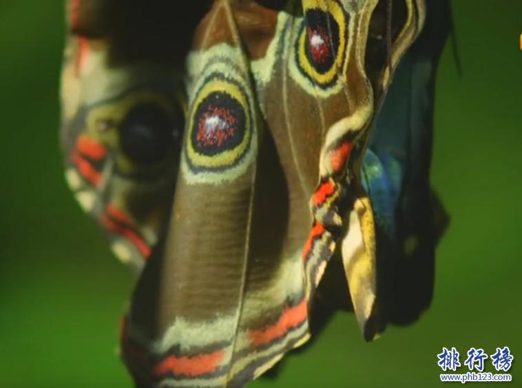 世界上最大的蝴蝶:傳說中的藍默蝶竟是最大的蝴蝶