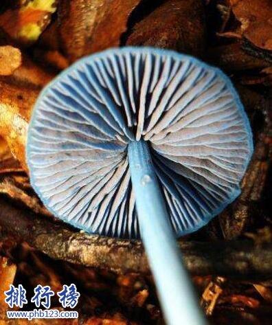 2021年新發現:勐宋粉褶菌 網友:真·藍瘦香菇!