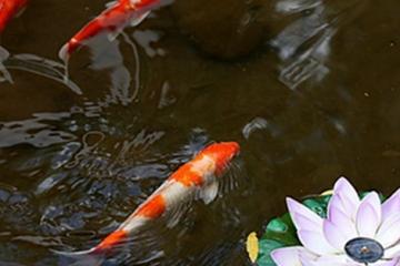 十大適合家養的冷水觀賞魚,最好養的冷水魚排行榜