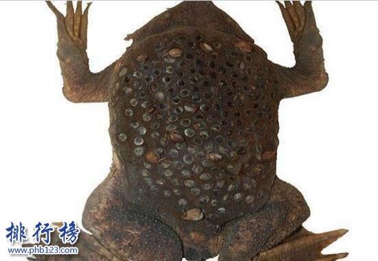 世界上最令人噁心的動物:琵琶蟾蜍,背部長滿小孔(圖片)