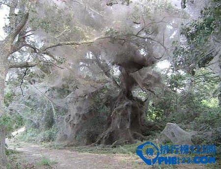世界上最大的蜘蛛網