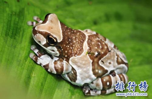 世界上最小清新的青蛙,打傘樹蛙(後被證實為擺拍)