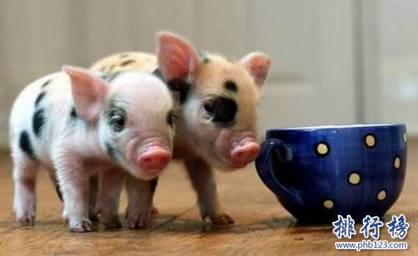茶杯豬,世界上最小的豬(體長30厘米重30公斤)