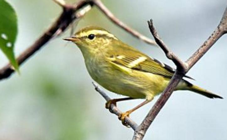 觀賞鳥十大鳴鳥排名,最受歡迎的鳥長得漂亮聲音好聽